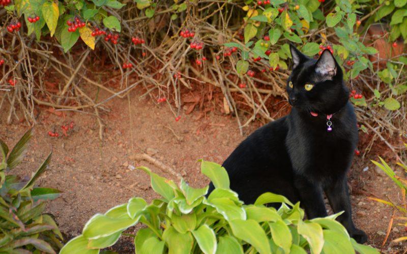 Inn - Black Cat